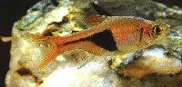 Poissons suite for Bac transport poisson